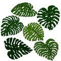 A set of exotic, brightly green monstera leaves, isolated on a white background