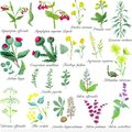 Set of field medicinal herbs. Watercolor vector illustration.