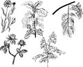 Set of five wild herbs sketches isolated on white illustration with background Royalty Free Stock Images