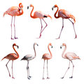 Set of Flamingoes. Isolated over white Royalty Free Stock Photo