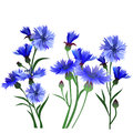 A set of flowers. Blue cornflowers.