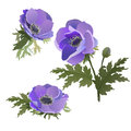 A set of flowers. Lilac Poppies.