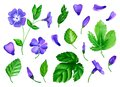 A set of flowers periwinkle is made in watercolor