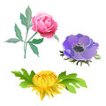 A set of flowers. Pink peony, lilac poppy, yellow chrysanthemum.