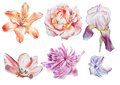Set with flowers. Rose. Iris. Lily. Peony. Watercolor illustration.