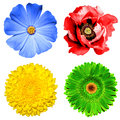 Set of 4 in 1 flowers: yellow chrysanthemum, green gerbera, blue primula and red poppy flower isolated Royalty Free Stock Photo