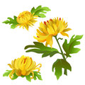 A set of flowers. Yellow chrysanthemums