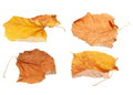 Set flying dry autumn yellow linden leaves isolated white Royalty Free Stock Photo