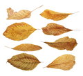 Set flying yellow fallen autumn dry leaves walnut  isolated on white Royalty Free Stock Photo