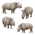 Set of Rhinoceros Isolated on a White Background Royalty Free Stock Photo