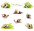 Set garden snail (Helix aspersa) Royalty Free Stock Photo
