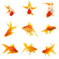 Set of Goldfish Royalty Free Stock Photo