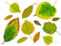 Set of green autumn leaves isolated in white background Stock Photography
