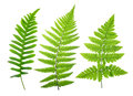 Set of green fern leaves Royalty Free Stock Photo