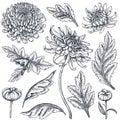 Set of hand drawn chrysanthemum flowers Royalty Free Stock Photo