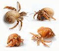 Set of hermit crabs from caribbean sea isolated on white background Stock Images