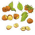 Set of highly detailed hand drawn hazelnuts isolat Stock Photo