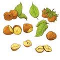 Set of highly detailed hand drawn hazelnuts isolat