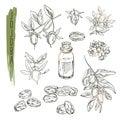 Set of jojoba elements. Vector realistic sketch of organic plant.