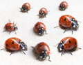 Set of ladybugs after hibernation in indoor spring close up Royalty Free Stock Photo