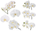 Set of large white orchid flowers Royalty Free Stock Photo