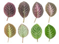 Set of leaf,isolated Royalty Free Stock Photo
