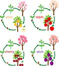 Set with life cycles of different garden fruit trees apple, pear, plum and cherry. Plant growth stage from seed to tree with fru