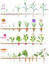 Set of life cycles of vegetable plants garlic, radish, carrot and onion. Royalty Free Stock Photo