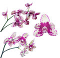 Set of light yellow orchids in large pink spots Royalty Free Stock Photo