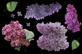 Set of lilac flowers isolated on black background