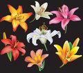 Set of lilies heads on black background Stock Photo