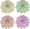 Set of linear drawing chrysanthemums with different colors vector illustration Royalty Free Stock Images