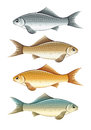 Set of live colour fish color fishes eps illustration isolated on white background Stock Image
