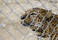 Set me free a forlorn looking amur leopard gazing out of it s enclosure at the zoo Stock Image