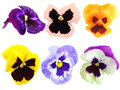 Set of motley pansy flowers isolated on white background close up studio photography Stock Images