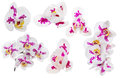 Set of orchid flowers with large pink spots Royalty Free Stock Photo