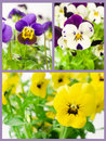 Set of pansies in different colors Royalty Free Stock Photo