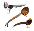 Set pheasant birds isolated over white background s lady amherst s pheasant reeve s pheasant golden pheasant Royalty Free Stock Photography