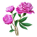 Set of pink peonies. Branch of pink peonies isolated for design.