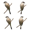 Set red backed shrike isolated on white lanius collurio Royalty Free Stock Photography