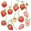 Set of Red berry strawberry isolated on white background. Hand drawn watercolor painting illustration of berries.