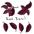 Set of Red or Purple Basil Herb Branch and Leaves . Realistic Hand Drawn Doodle Style Sketch. Vector Illustration