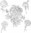 Set of roses hand drawn illustrations Stock Image