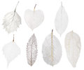 Set of seven light leaf skeleton isolated on white Royalty Free Stock Photo
