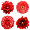Set of 4 in 1 surreal red flowers: chrysanthemum, gerbera, dahila and rose isolated Royalty Free Stock Photo