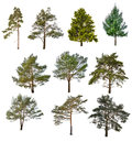 Set of ten coniferous trees isolated on white Royalty Free Stock Photo