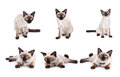 Set of thai cat is a traditional or old-style siamese cat. Royalty Free Stock Photo
