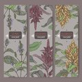 Set of three labels with amaranth, quinoa and chia color sketch. Cereal plants collection.