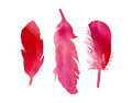 Set of three red pink fuchsia watercolor bird feathers Royalty Free Stock Photo