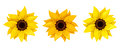 Set of three sunflowers. Vector illustration. Royalty Free Stock Photo